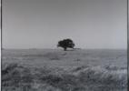 Tree and Grain Elevator, Highway 56 near Kinsley, Kansas, 1973