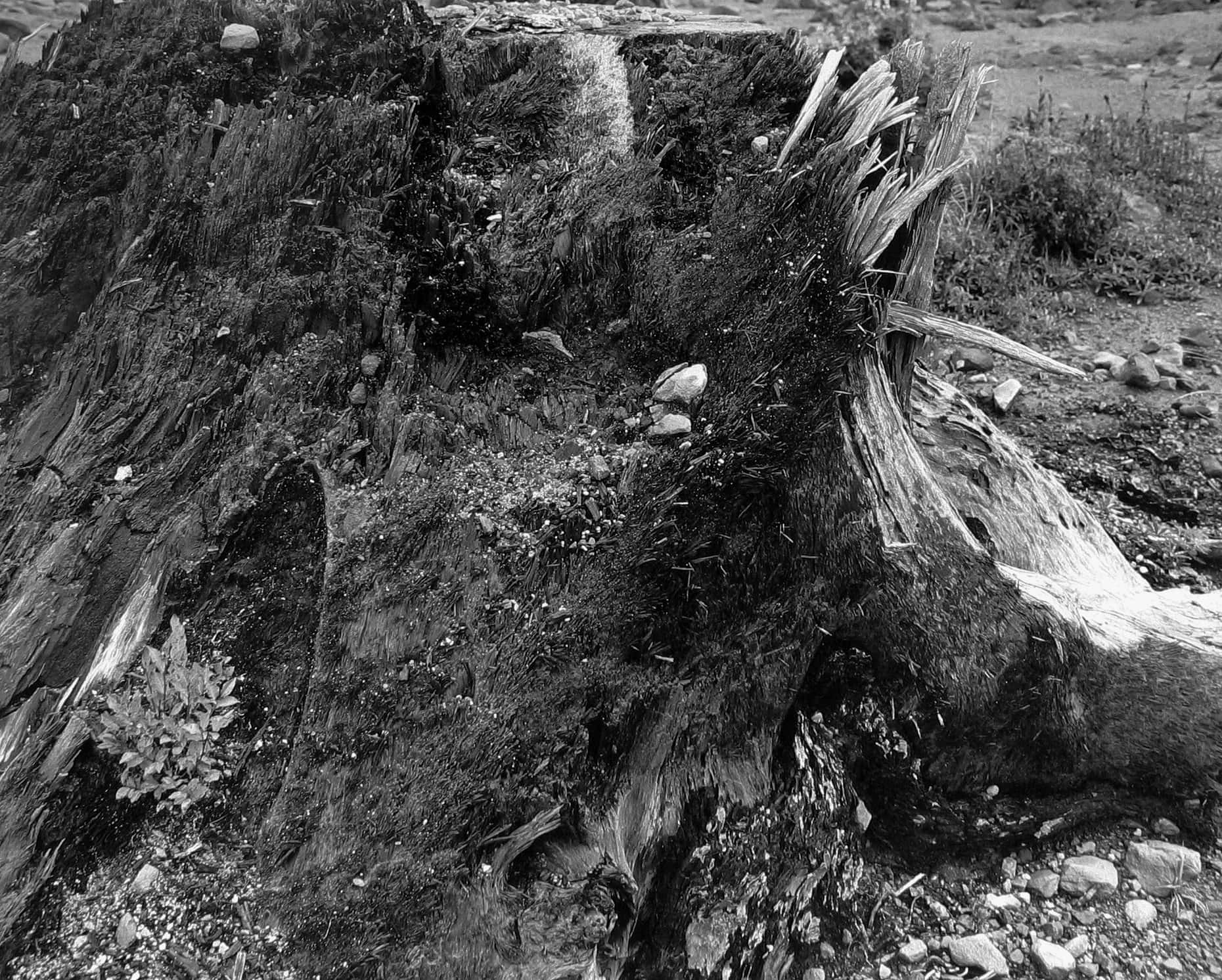 Tree stump battered by mudflow, on Lahar (mudflow area), 6 miles SE of Mt. St. Helens, Wash., 1983
