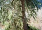 76. Pine Tree on Matilija Creek, CA 2014