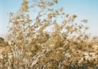 Creosote Bush in Wind