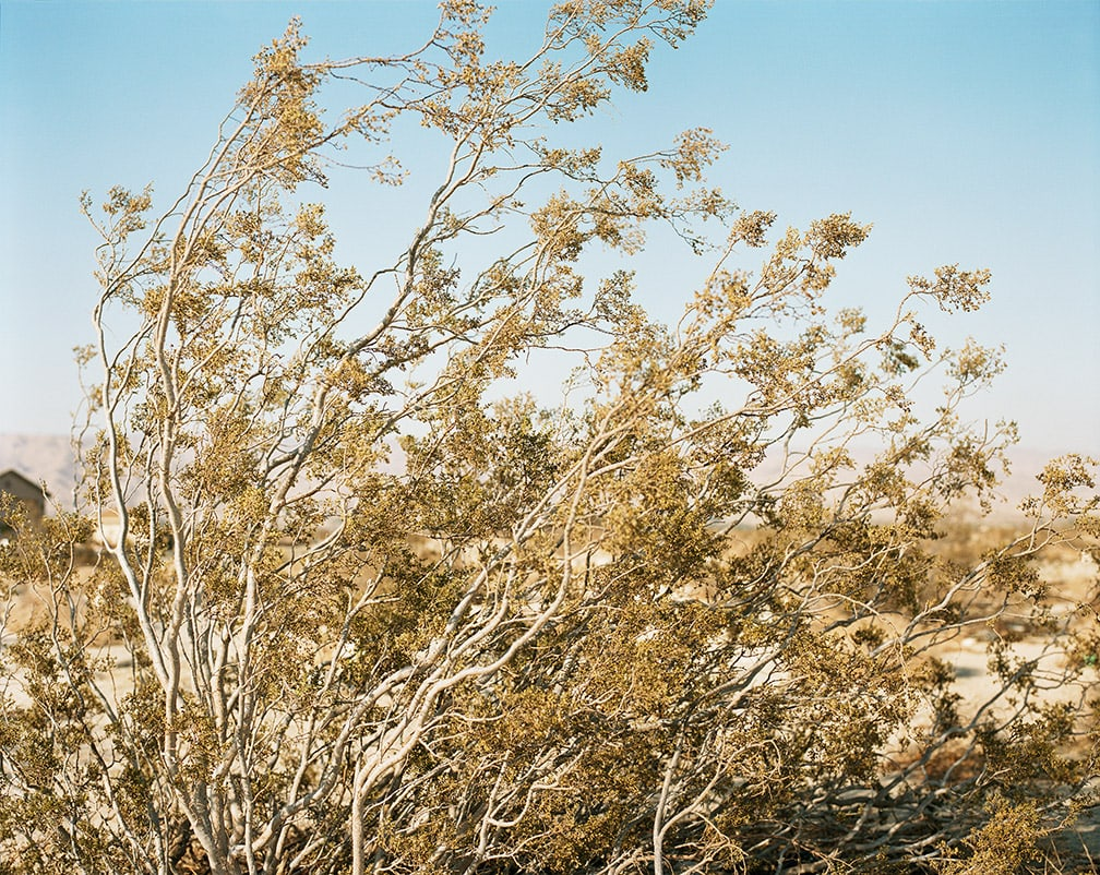 Ron Jude, Creosote Bush in Wind