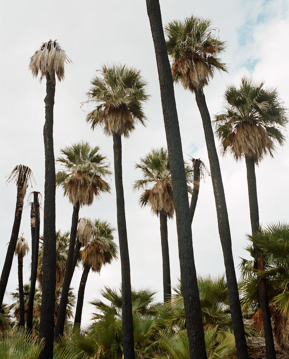 Charred Oasis Palms
