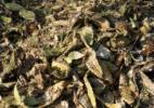 Rotting Cacti