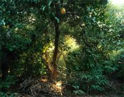 Grapefruit Tree and Cobwebs, Grand Terrace, CA, 2014