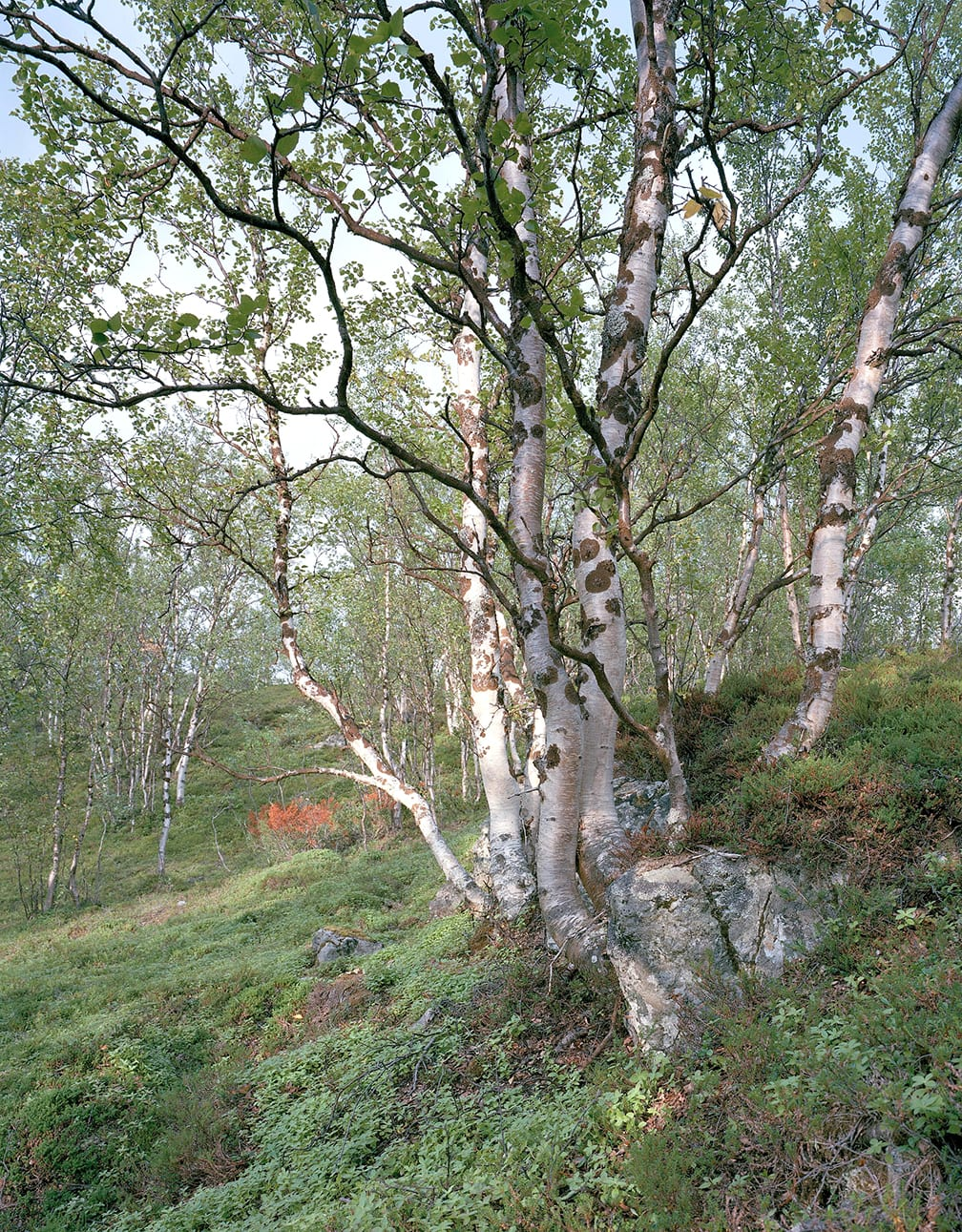 Birch Trees at Kafjord, Finnmark