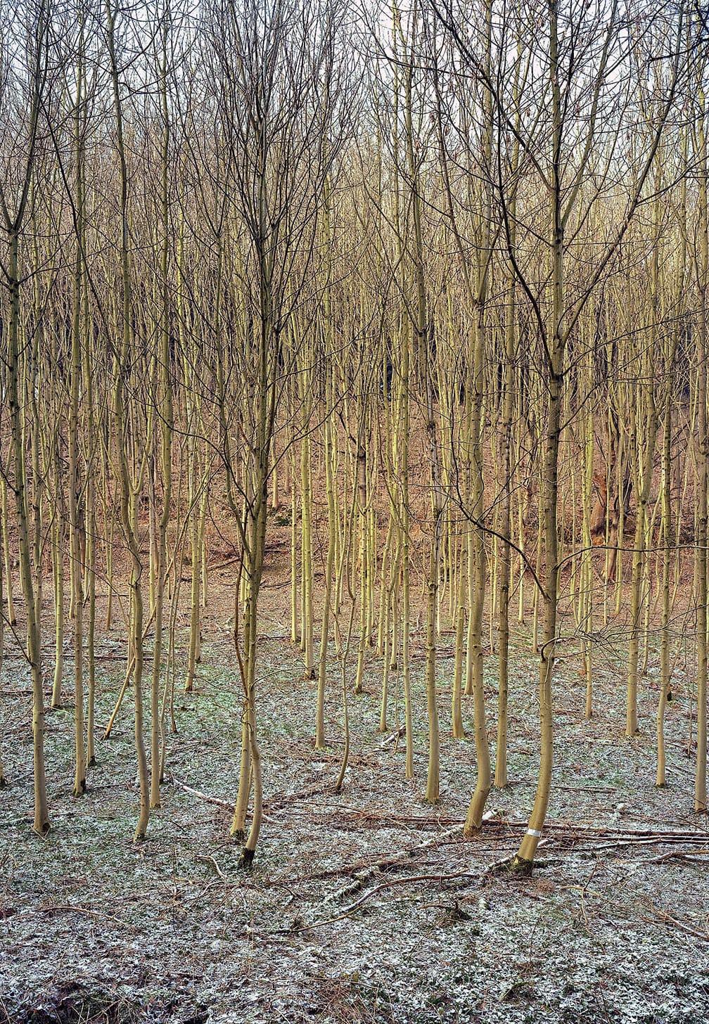 Young Beech Tree Grove, Essen III, Ruhrgebiet
