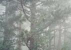 Misty Pine Tree, Vaucluse